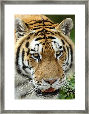 Framed Print featuring the photograph Eyes Of The Tiger by John Haldane
