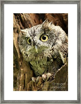 Eyes Of Wisdom Eastern Screech Owl In Hollow Tree Framed Print by Inspired Nature Photography Fine Art Photography