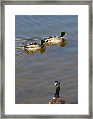 Eyes On The Green Framed Print by Paula Tohline Calhoun