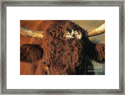 Face Of A Cow Salers. Auvergne . France Framed Print by Bernard Jaubert