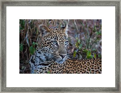 Face Of A Leapord Framed Print by Craig Brown