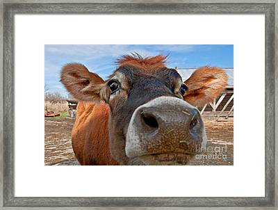Face Of Young Jersey Cow Heifer Framed Print