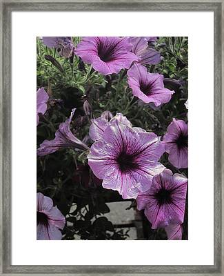 Faces Of Petunias Framed Print by Guy Ricketts