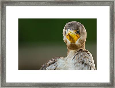 Facing The Great Cormorant Framed Print