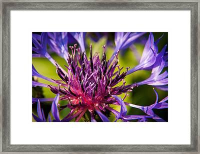 Fairy Dust - Centaurea Framed Print by Matt Dobson