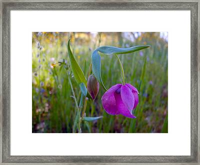 Fairy Lantern In Park Sierra-ca Framed Print by Ruth Hager