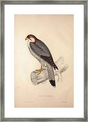 Falco Chicquera, Red-necked Falcon Or Red-headed Merlin Framed Print