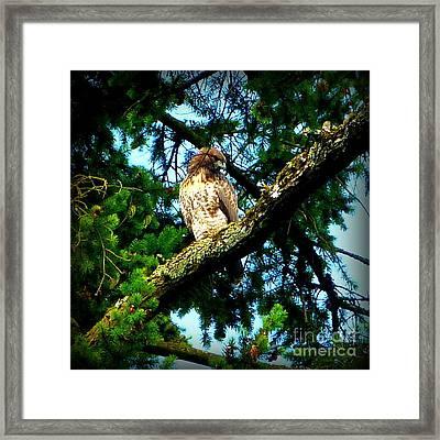 Falcon High Framed Print by Susan Garren