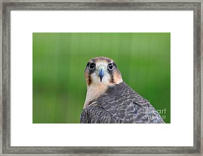 Falcon Framed Print by Suzanne Handel