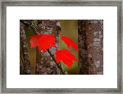 Fall Aflame Framed Print by Ronda Broatch