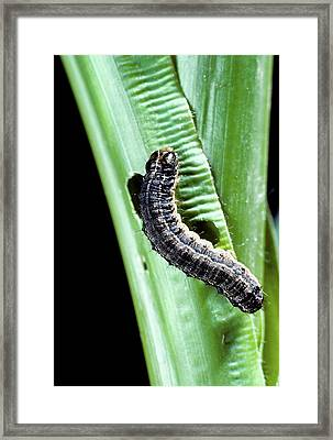 Fall Armyworm Caterpillar Framed Print by Barry Fitzgerald/us Department Of Agriculture