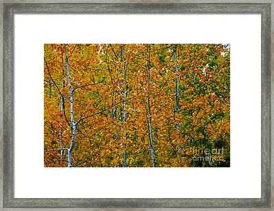 Fall Aspen Framed Print