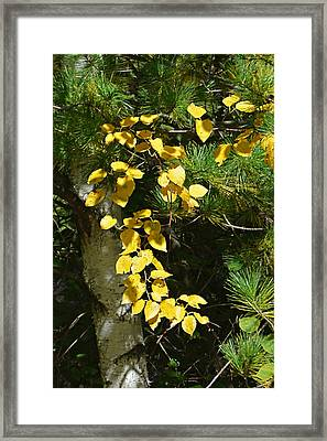 Framed Print featuring the photograph Fall Birch by Judy  Johnson