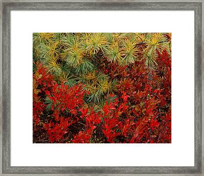 Fall Blueberries And Pine-h Framed Print