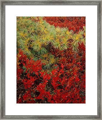 Fall Blueberries And Pine Framed Print