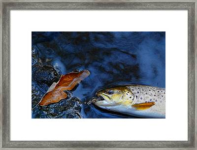 Fall Brown Trout Framed Print by Thomas Young