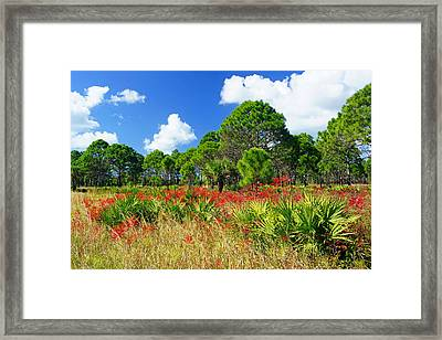 Longleaf Pines Flatwoods Christmas Color Framed Print by John Myers