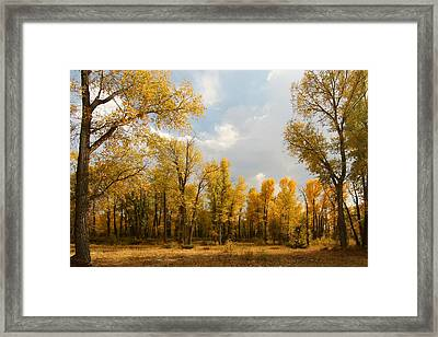 Fall Cottonwoods In Gros Ventre Framed Print by Jeremy Farnsworth