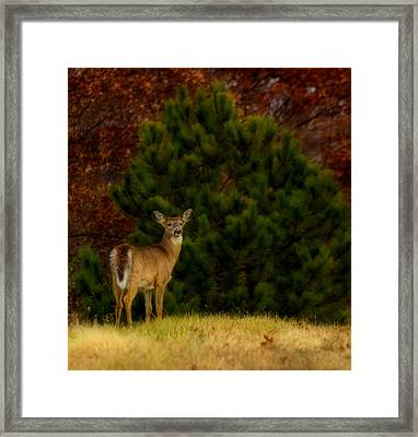 Fall Doe Framed Print by Thomas Young