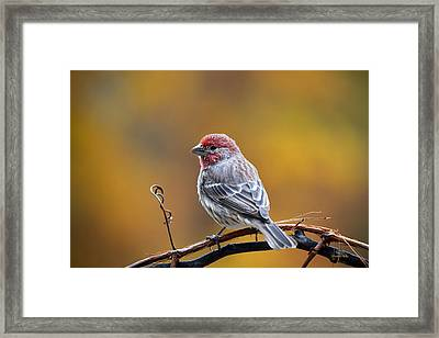 Fall Finch Framed Print by Christina Rollo