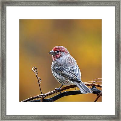 Fall Finch Square Framed Print