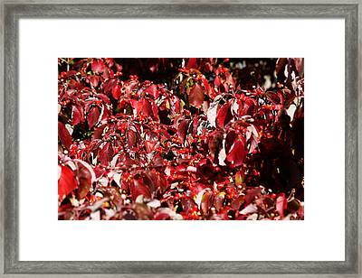 Fall Foliage Colors 08 Framed Print