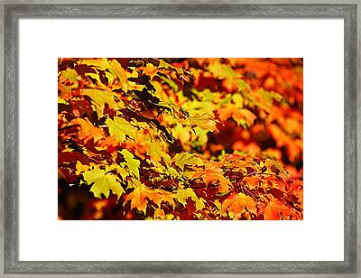 Fall Foliage Colors 13 Framed Print by Metro DC Photography