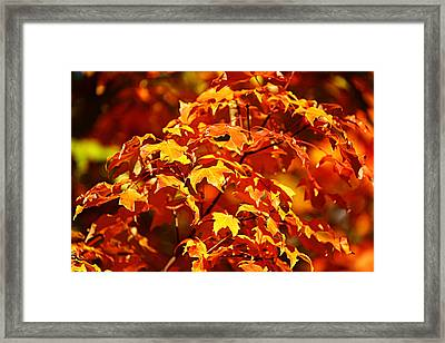Fall Foliage Colors 14 Framed Print by Metro DC Photography