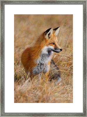 Fall Fox Framed Print