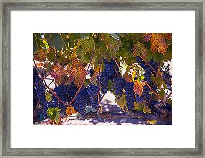 Fall Grape Harvest Framed Print by Garry Gay