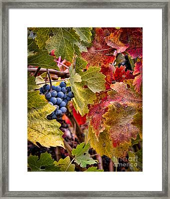 Fall Grapes Framed Print by Ana V Ramirez