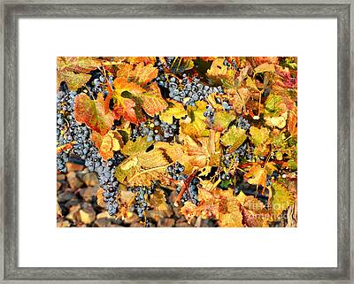 Fall Grapes Framed Print by Carol Groenen