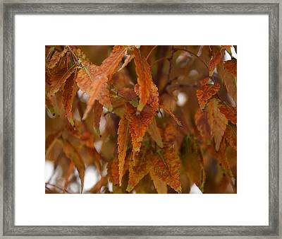 Fall Leaves On A Tree Framed Print by Chris Flees