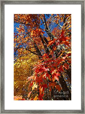 Fall Maple Forest Framed Print