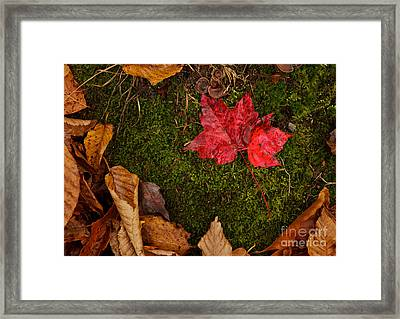 Fall Maple Leaves Framed Print