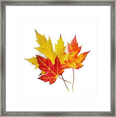 Fall Maple Leaves On White Framed Print