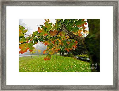 Fall Maple Tree In Foggy Park Framed Print by Elena Elisseeva