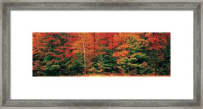 Fall Maple Trees Framed Print