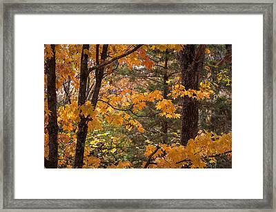Framed Print featuring the photograph Fall Maples - 01 by Wayne Meyer