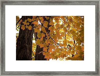 Framed Print featuring the photograph Fall Maples - 06 by Wayne Meyer