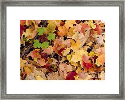 Fall Maples Framed Print by Steven Ralser
