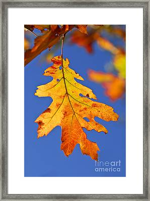 Fall Oak Leaf Framed Print by Elena Elisseeva