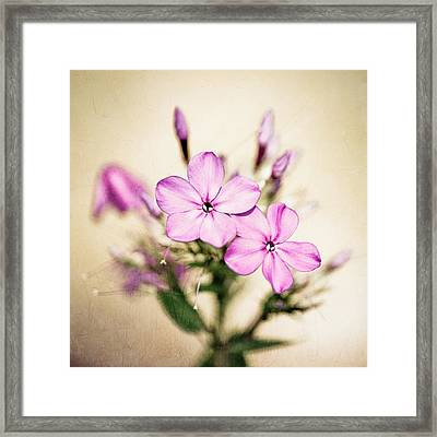Fall Phlox Framed Print