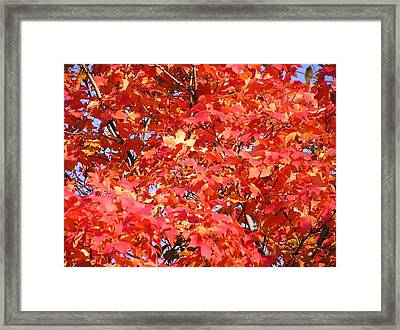 Fall Sugar Maple Framed Print