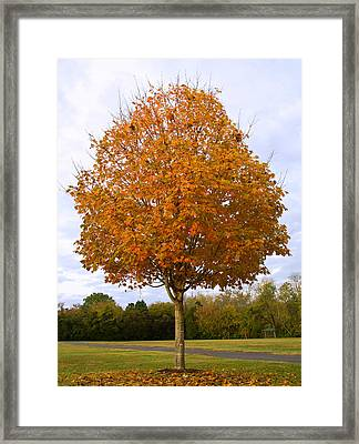 Fall Sugar Maple Framed Print by Melinda Fawver