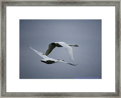 Framed Print featuring the photograph Fall Swans by Al Fritz