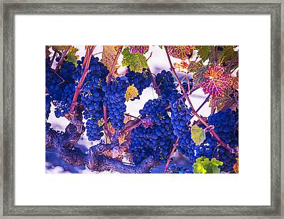 Fall Wine Grapes Framed Print by Garry Gay