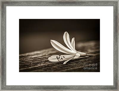 Fallen Beauty- Sepia Framed Print by Marvin Spates