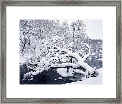 Fallen Snowy Tree Framed Print