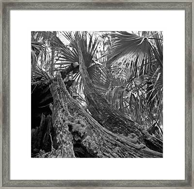 Fallen Tree. Highlands Hammock S.p. Framed Print